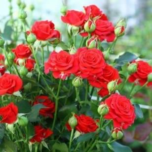 фото розы сорта Red Mikado. Ред Микадо