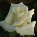 фото чайно-гибридной розы сорт Анастасия Anastasia