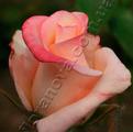 фото чайно-гибридной розы сорта Анна  Anna