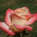 фото чайно-гибридной розы сорта Бель Перль  Belle Perle