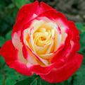 Фото чайно-гибридной розы сорта Дабл Делайт Double Delight