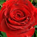 фото чайно-гибридной розы сорта Bull's Eye  Бычьи Глаза
