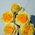 фото роз сорта Кронос Kronos
