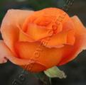 фото чайногибридной розы сорта Луи де Фюнес, Louis de Funes