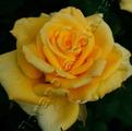 фото чайно-гибридной розы сорта Папилон Papillon