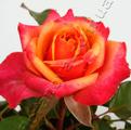 фото чайно-гибридной розы сорта Черри Бренди Cherry Brandy