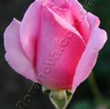 фото чайногибридной розы сорта Эйфель Тауэр  Eiffel Tower