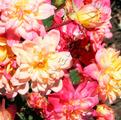 фото миниатюрной розы сорта Беби Маскарад Baby  Masquerade