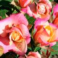 фото миниатюрной розы сорта Каталина Catalina.
