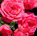 фото миниатюрной розы сорта Kerry Керри