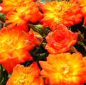 фото миниатюрной розы сорта Колибри 79 Colibri 79
