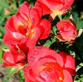 фото миниатюрной розы Little Flirt, Литтл Флирт