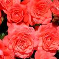фото миниатюрной розы сорта Линда Linda