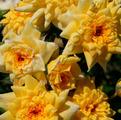фото миниатюрной розы сорта Райзен Шайн Rise'n Shine
