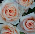 фото миниатюрной розы сорта Ребека Rebeka
