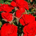фото миниатюрной розы сорта Ред Эльф, Red Elf