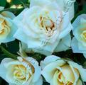 фото миниатюрной розы сорта Хонора Honora