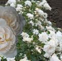 фото почвопокровной розы сорта Perle Meillandecor Перль Мейяндекор