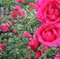 фото почвопокровной розы сорта Роди Rody