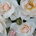 фото почвопокровной розы сорт Аспирин Розе Aspirin Rose