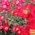 фото почвопокровной розы Руж Меяндекор Rouge Meillandecor