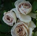 фото плетистой розы сорта Ash Wednesday Aschermittwoch