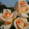 Фото розы сорта Grand Mogul Гранд Могюл