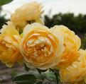 фото английской розы сорта Graham Thomas.  Грэхам Томас