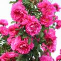 Фото розы сорта John Cabot Джон Кабот