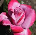 фото чайно-гибридной розы сорта Парадиз, Paradise