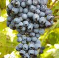 Сорт винограда Восторг чёрный