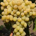 Виноград сорта Августин