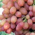 Виноград сорта Кишмиш Лучистый