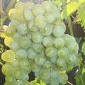 Виноград сорта Дружба