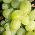 столовый сорт винограда Подарок Запорожью