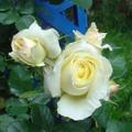 Роза Schneewalzer Шнеевальцер