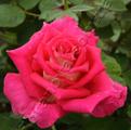 Фото розы Sheila. Шейла