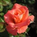 Роза Folklore