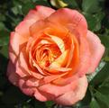 Фото розы сорта High Intenz. Хай Интенц