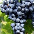 фото столового сорта винограда Молдова