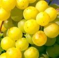 Фото столового сорта винограда Джура Узюм