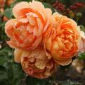 Фото розы сорта Pat Austin