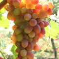 Фото винограда сорта Арочный