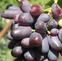 фото столового сорта винограда Изюминка