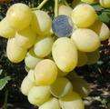 фото столового сорта винограда сорта Ландыш