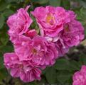Фото розы сорта John Cabot