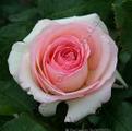 Саженцы роз сорта Pierre de Ronsard. Фото розы сорта Пьер де Ронсар