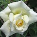 фото розы сорта Schneewalzer Шнеевальцер