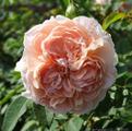 Фото розы сорта Colette Колетт