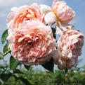 Фото розы сорта Colette, Колетт